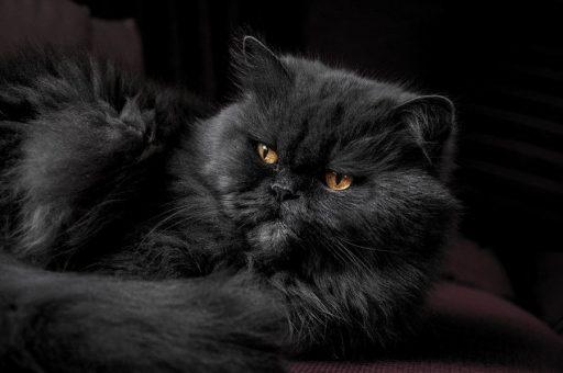 persa-gato-negro