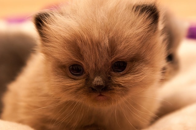 persians-cat