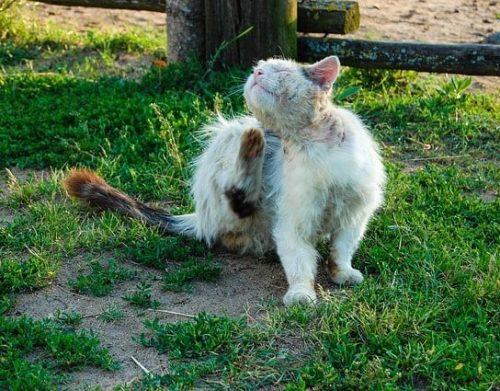 picor-sarna-en-gatos