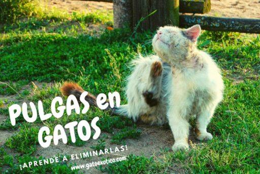 pulgas-en-los-gatos