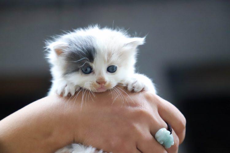 ragamuffin-gato