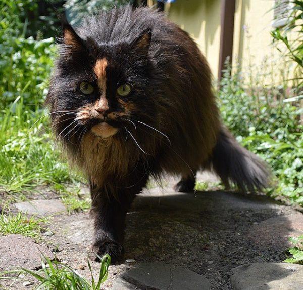 ragdoll-gato-raza