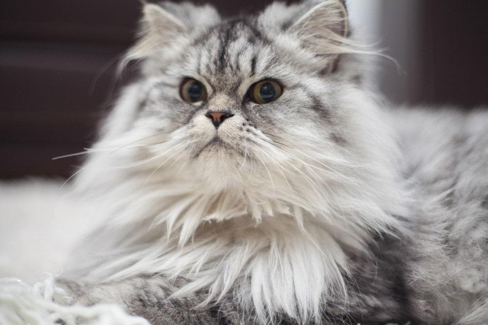 razas-de-gatos-peludos