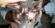 sarna-en-gatos