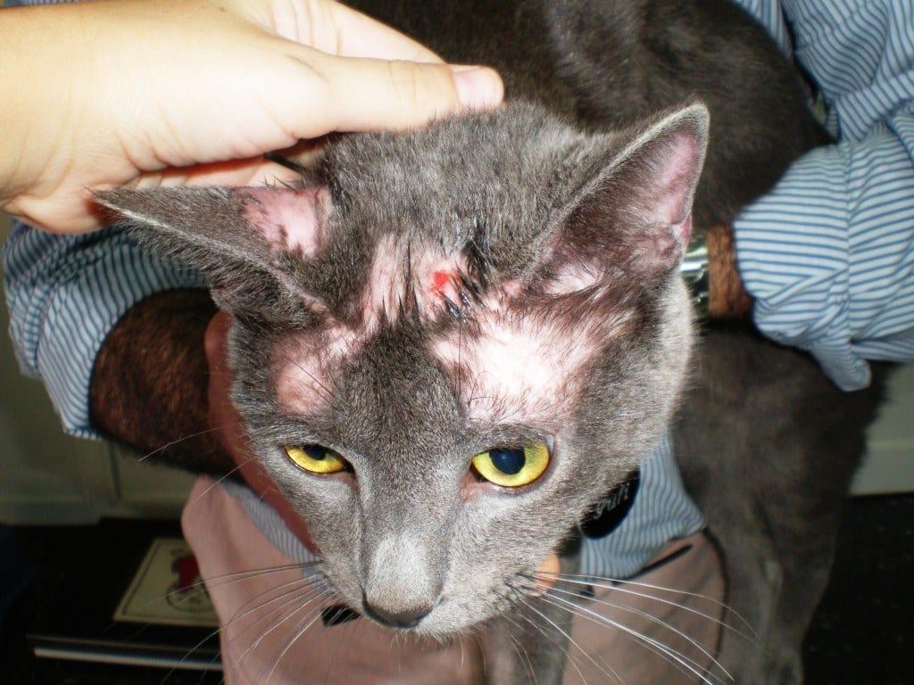 Tiña y tratamiento para gatos persas