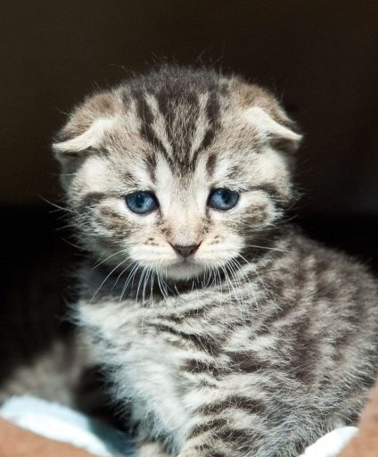 scotish-fold-cat-kitten