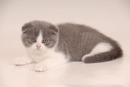 scotish-fold-gato