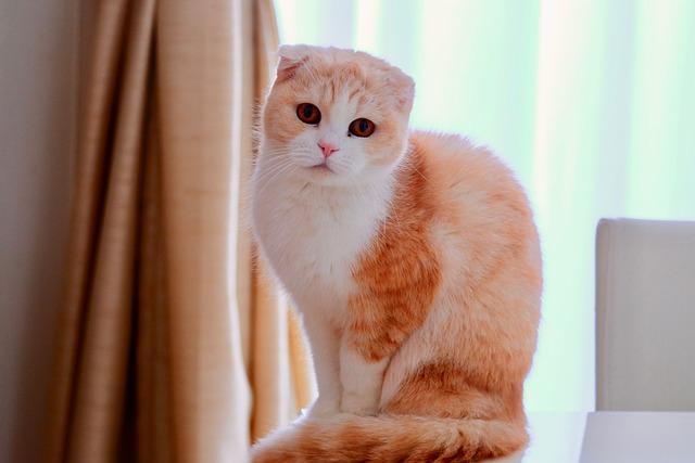 scottish-fold-gato