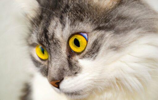 sentido-de-la-vista-en-gatos