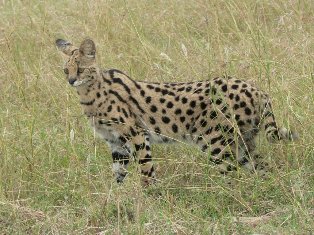 serval-en-africa