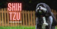 shih-tzu-perro