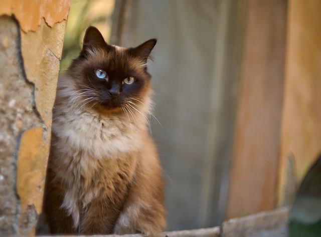 gato-siames-adopcion