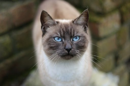 siames-gato