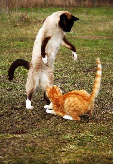 gato-siames-personalidad
