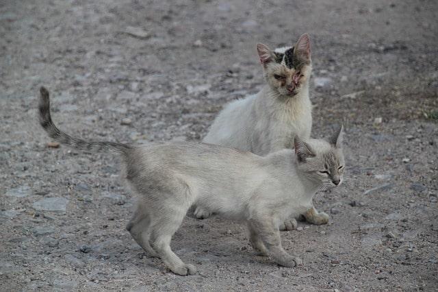 tiña-en-gatos-sintomas