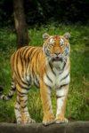 tigre-animal