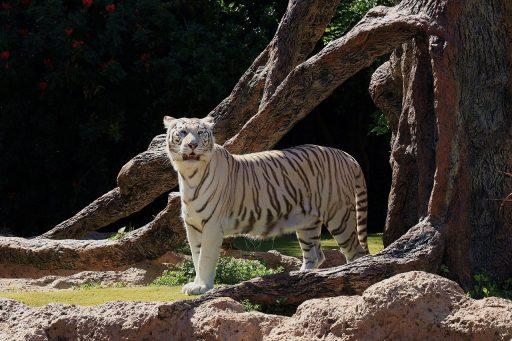 tigre-blanco-3d