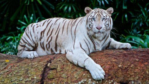 tigre-blanco