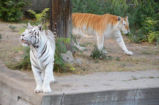 tigre-blanco-cachorro