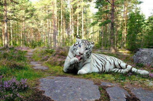 tigre-blanco-fondo-de-pantalla