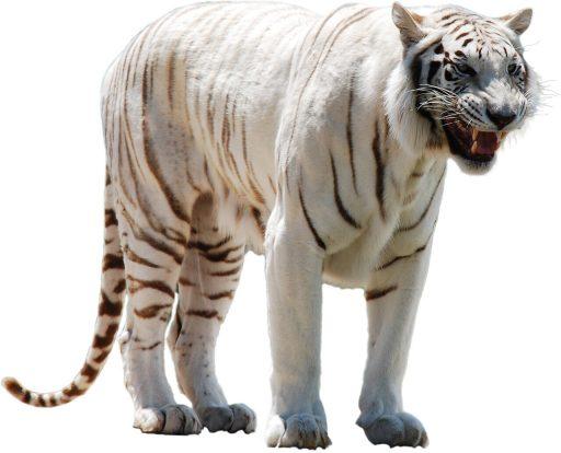 tigre-blanco-fotos