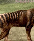 tigre-de-tasmania