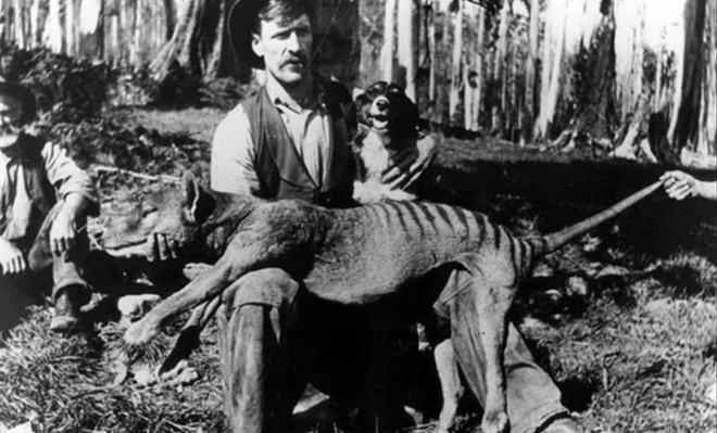 tigre-de-tasmania-extincion