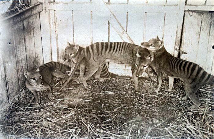 tigre-de-tasmania-vivo