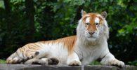 tigre-dorado