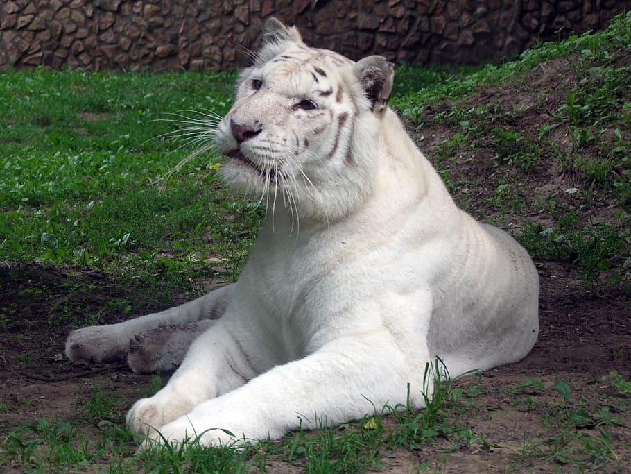 tigre-sin-rayas