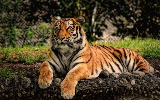tigres-en-peligro-de-extincion