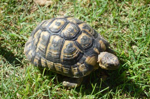 tortuga-mora-españa