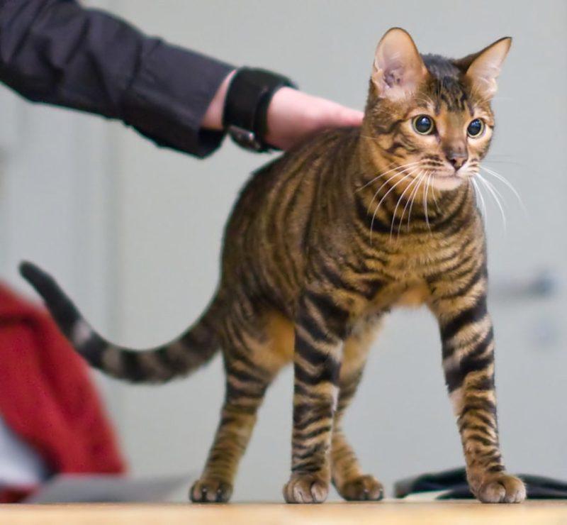 toyger-gato
