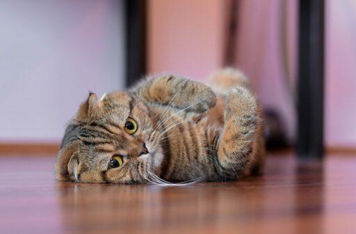 vacunas-gatos-domesticos