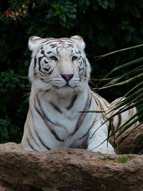 cuantos-años-vive-un-tigre-blanco